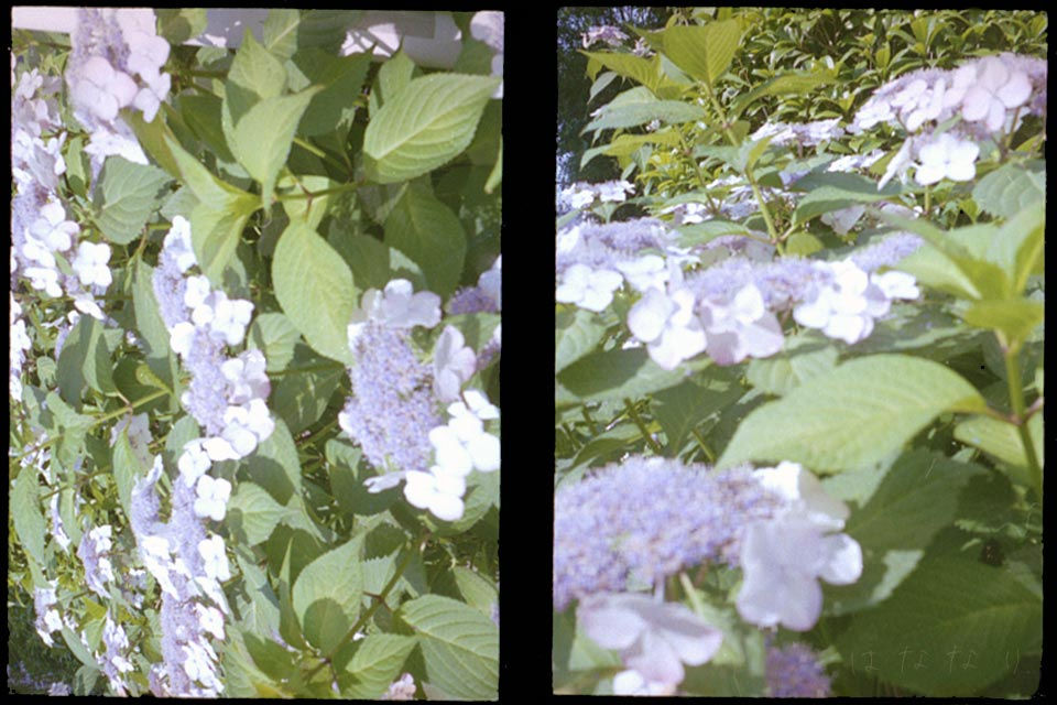 ハーフサイズカメラで撮った紫陽花