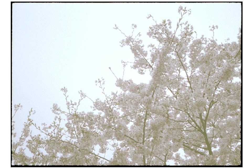 ハーフサイズカメラで撮った桜